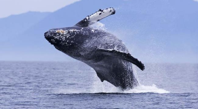Vancouver Island Whale Waching